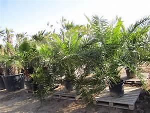 Phoenix Canariensis Pflege : bedingte winterharte palmen winterharte palmen ~ Lizthompson.info Haus und Dekorationen