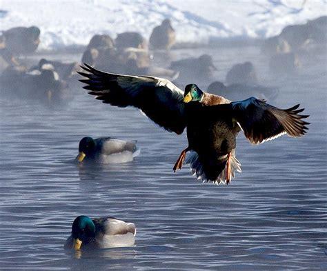 what do mallard ducks eat what do mallard ducks eat mallard feeding and diet