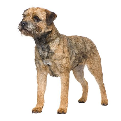 Border Terrier Non Shedding by Border Terrier See Description And Pictures Of This