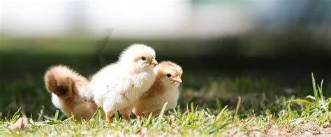 6 Surprising Facts About Farmed Animals' Intelligence ...