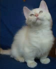 munchkin cats munchkin cat