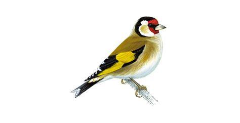 goldfinch bird facts carduelis carduelis  rspb