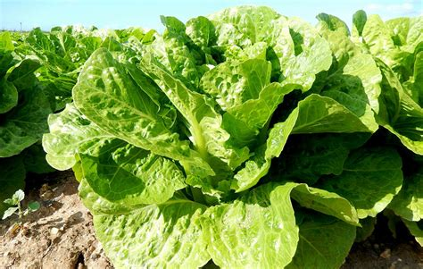 pictures of lettuce growing grow delicious lettuce all year long