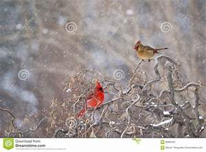 Male And Female Cardinals In Winter Stock Image - Image ...