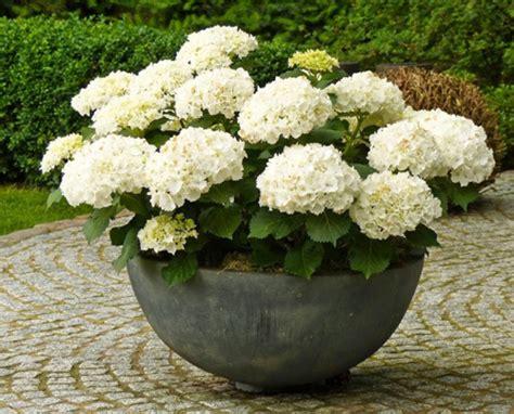 feeding hydrangeas in pots 28 images tara dillard designing to solve problems maintenance