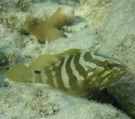 grouper nassau juvenile iconic
