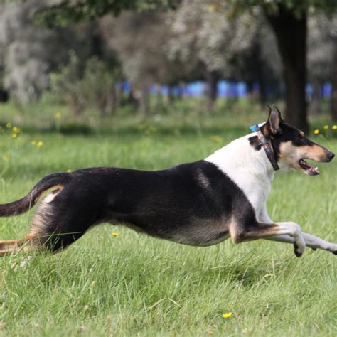 collie smooth breed guide learn   collie smooth