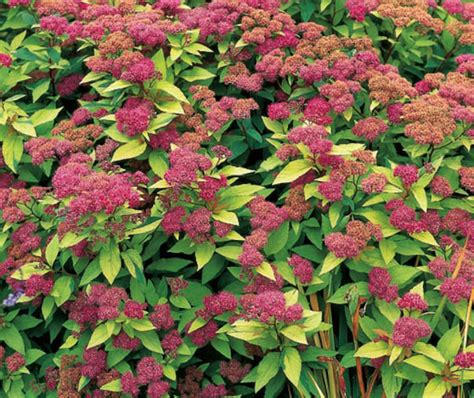 colorful bushes and shrubs brighten your garden with colorful shrubs quarto homes