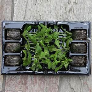 Pflanzen Kübel : mini jungpflanzen beet und k bel sortiment purple rain ~ Pilothousefishingboats.com Haus und Dekorationen