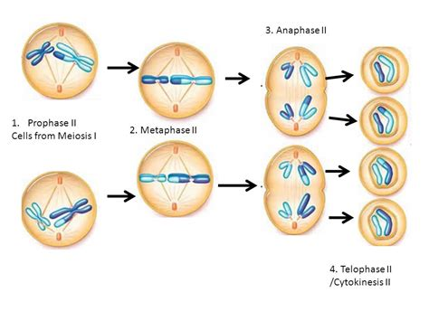 Mitosis Review Interphase Prophase Metaphase Anaphase Telophase