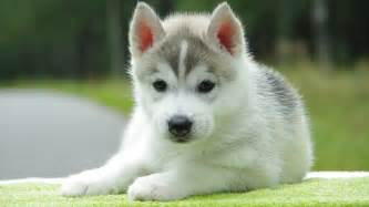 Huge Mirror For Sale by Cute Husky Puppies With Quotes Quotesgram