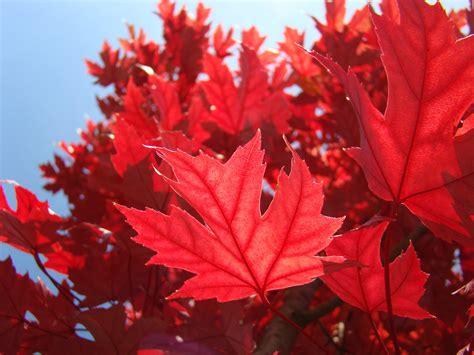 red autumn leaves art prints sunlit fall tree leaf baslee