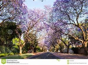 Early Morning Street Scene Of Jacaranda Trees In Bloom ...