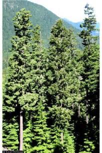 douglasfir gif 600 900 arena trees douglas fir firs and douglas fir tree