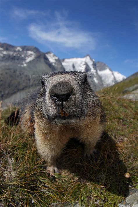 die murmeltiere putzige alpenbewohner  grossglockner