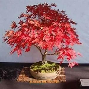 Red Maple Acer rubrum bonsai trees seeds | eBay