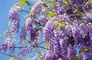 Blühende Kletterpflanzen Winterhart Mehrjährig : liste winterharter und mehrj hriger kletterpflanzen ~ Michelbontemps.com Haus und Dekorationen