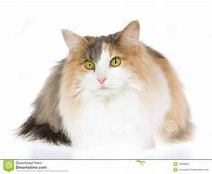 Norwegian Forest Cat On White Background Stock Photo ...