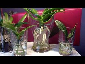 Orchideen Umtopfen Wurzeln Schneiden : orchideen wurzelschnitt radikal leicht gemacht und wirklich schnell phalaenopsis diy youtube ~ A.2002-acura-tl-radio.info Haus und Dekorationen