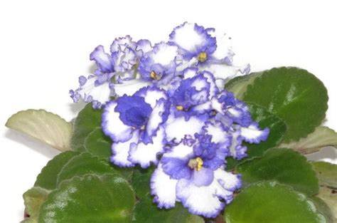 violet leaves turning white african violet leaves purple and white single flower style 2 the cat s violets madeit com au