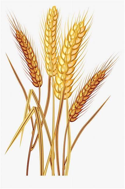 Wheat Clip Grain Clipart Plant Common Trigo