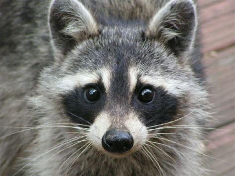 raccoon rachelmankowitz