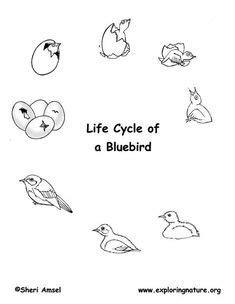 bird life cycle eastern bluebird outdoor worksheets
