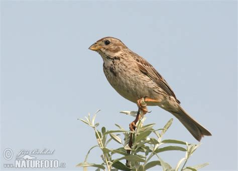 emberiza calandra pictures corn bunting images nature