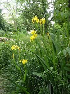 Portugiesischer Lorbeer Gelbe Blätter : sumpf schwertlilie iris pseudacorus sonnig und nass schwertlilie iris und pflanzen ~ Eleganceandgraceweddings.com Haus und Dekorationen