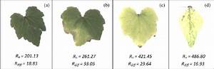 Different Levels Of Generalized And Localized Chlorosis In