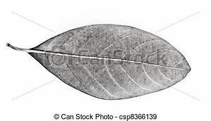 Jackfruit leaf. Black and white jack fruit leaf isolated ...