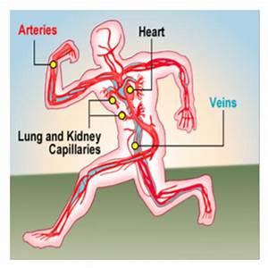 SMART Exchange - USA - Circulatory system - labeled