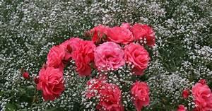 Begleitpflanzen Für Rosen : bl tenstauden als rosenbegleiter mein sch ner garten ~ Lizthompson.info Haus und Dekorationen