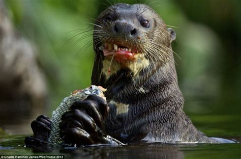 wildphotos exhibition otter eating fish forms part