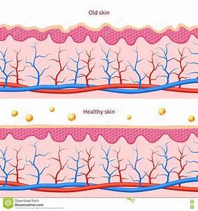 Structure Of Human Skin  Vector Illustration Cartoon