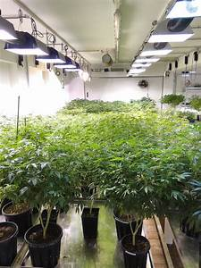 What Are Feminized Cannabis Seeds