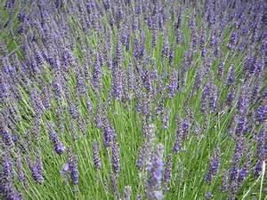 Lavendel Schneiden Im Herbst : lavendel pflegen schneiden vermehren berwintern ~ Lizthompson.info Haus und Dekorationen