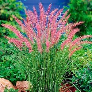 Rotes Gras Winterhart : lampenputzergras karley rose pflanzen str ucher ~ Michelbontemps.com Haus und Dekorationen