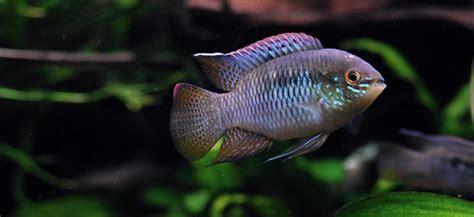 flag cichlid behaviour shoaling habitat size water ph