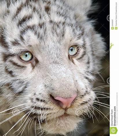 Tiger Head Close Tigrotto Testa Bianca Hoofd