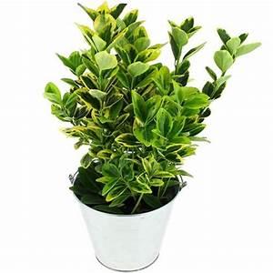 Arbuste Persistant En Pot : fusain plantes et arbustes livraison express florajet ~ Premium-room.com Idées de Décoration