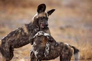 The Wild Hug : wild hug zoo of the wild pinterest wild dogs africans and dog ~ Eleganceandgraceweddings.com Haus und Dekorationen