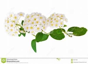 Weiß Blühender Strauch : sch nes wei es bl hender strauch spirea aguta brautkranz ~ Lizthompson.info Haus und Dekorationen