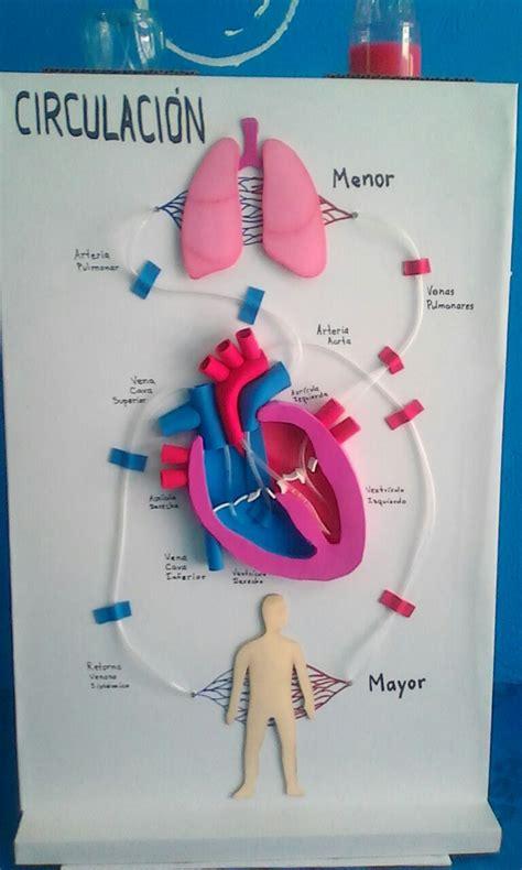 entre bytes notas y colores maqueta sistema circulatorio mayor y menor