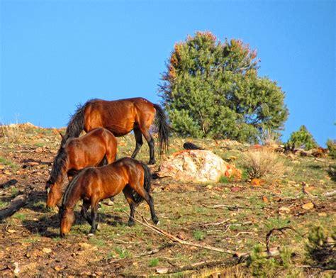 horses wild american native north range wildlife virginia patricia fazio indigenous protectmustangs