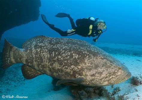 grouper goliath mission endangered critically protect fishing