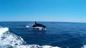 Orcas    Killer Whales  Orcinus Orca    Sagres  Algarve