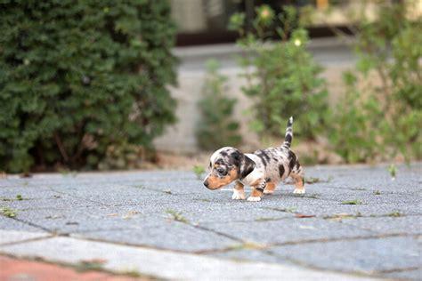 wink tiny teacup dachshund tiny teacup pups