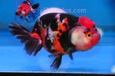 Lionhead vs Ranchu Goldfish   Goldfish Pictures and ...