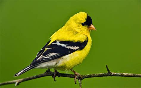 island life in a monastery the goldfinch savior bird